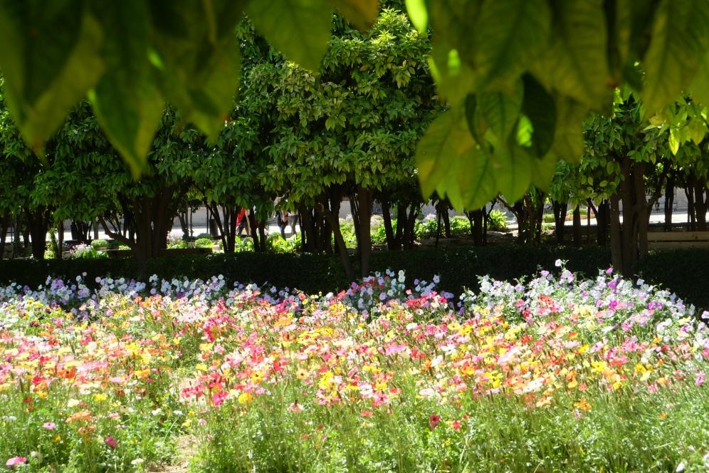 Persian buttercups in the Citadel garden, Shiraz