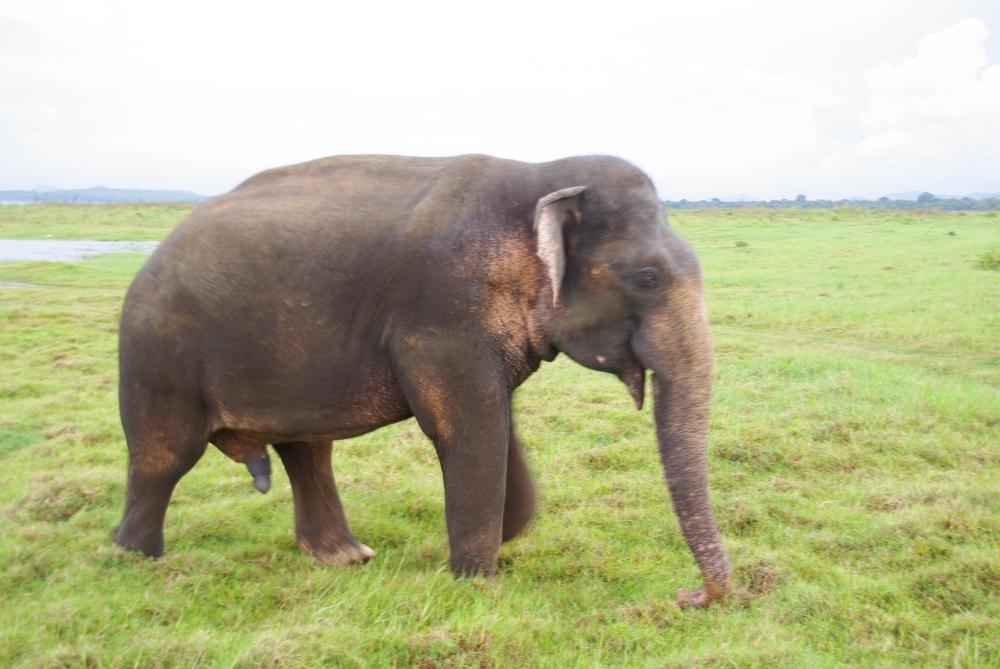 elephant_kaudulla_sri lanka