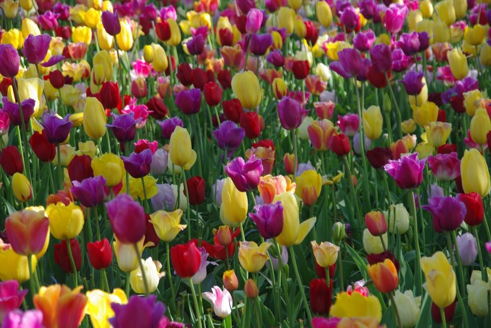 amsterdam_tulips1